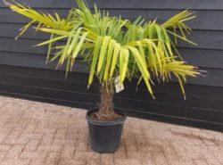 Palmboom 80 cm.